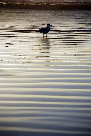 Seagull in shallow water in sunset Zdjęcie Seryjne