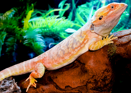 A bearded dragon with orange, blue, and red markings. Stock Photo