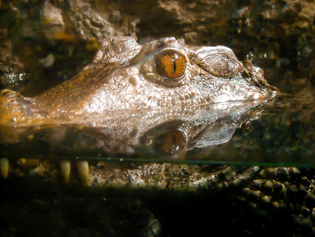 waits: A large crocodile waits in the water.