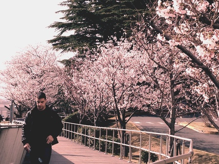 Cherry Blossoms blooming with Life