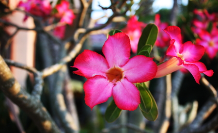 impala lily: Impala Lily in the garden Stock Photo