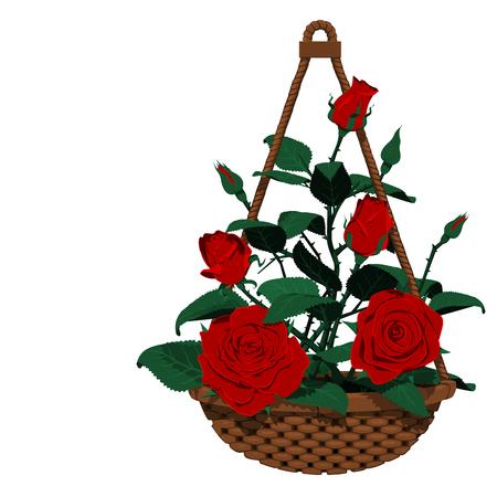 hanging basket: Isolated hanging basket of many roses