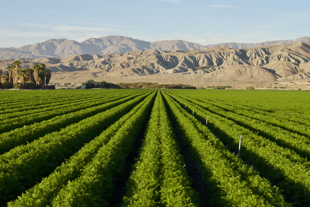 Carrot field in Indio Californian Desert in November