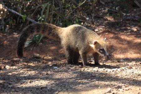 snoop: Coati