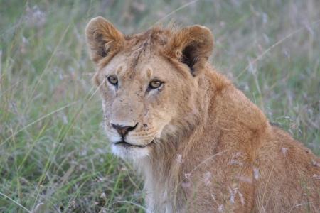Lions Stock Photo - 17919145