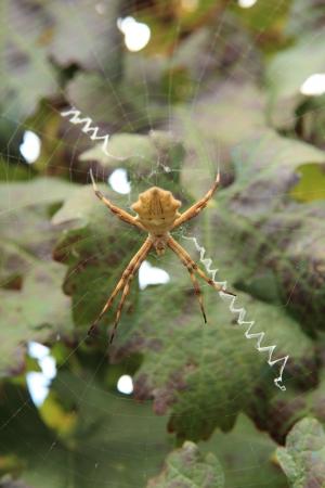 argiope: argentata Argiope spider Stock Photo