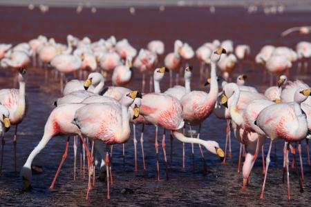 san pedro: Flamingos in the Laguna Colorada Bolivia Stock Photo