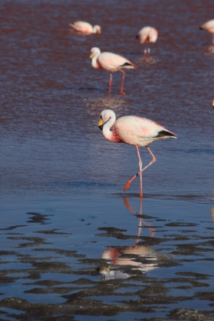 Flamingos in the Laguna Colorada Bolivia photo