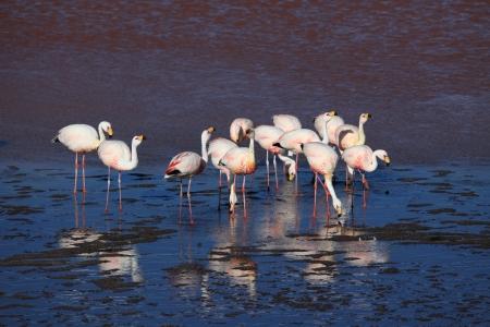 Flamingos in the Laguna Colorada Bolivia photo