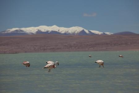 laguna: Laguna Colorado Flamingo Bolivia Stock Photo