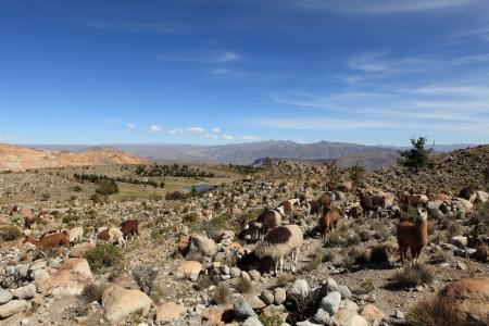 guanaco: llama, guanaco, alpaca Stock Photo
