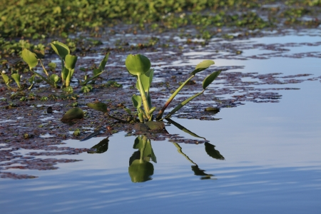 water hyacinth: Water Hyacinth