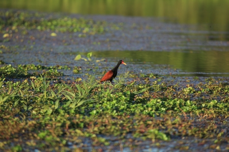 necked: Gray Necked Wood Rail
