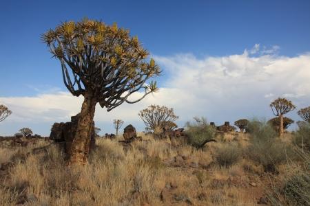quiver: Quiver Tree Namibië