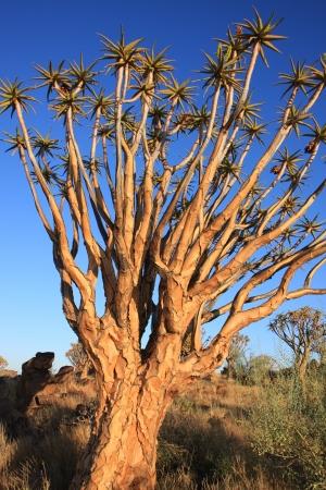 quiver: Quiver Tree Namibia
