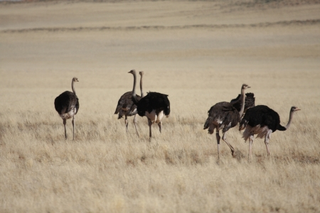 ratite: A Ostrich Stock Photo