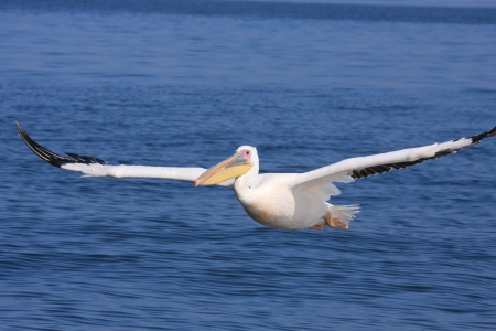 A pink Pelican in flying photo