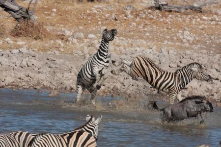pozo de agua: Cebras en una charca