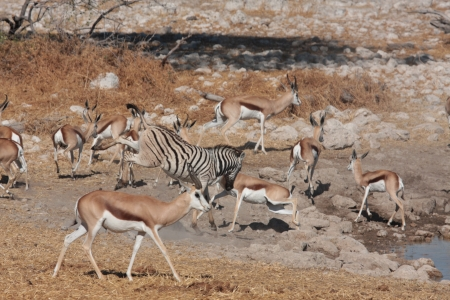 waterhole: Springbok at a Waterhole Stock Photo