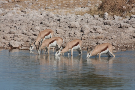 waterhole: Springbok at a Waterhole Stock Photo