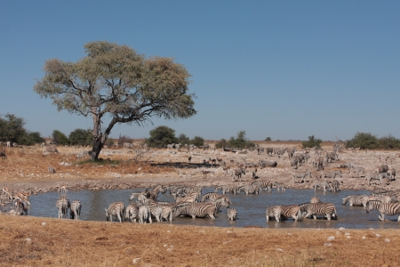 waterhole: Zebras at a Waterhole