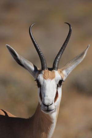 springbok: A Springbok in Etosha