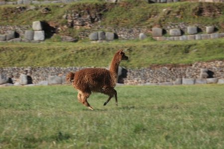 Running Llama Stock Photo - 21478750