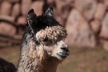 llama, guanaco, alpaca Stock Photo - 21736294