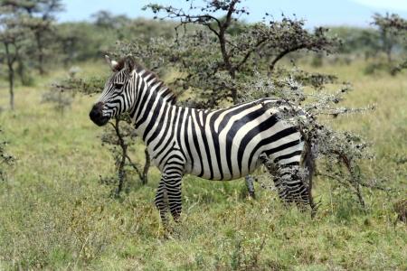 equid: Zebras