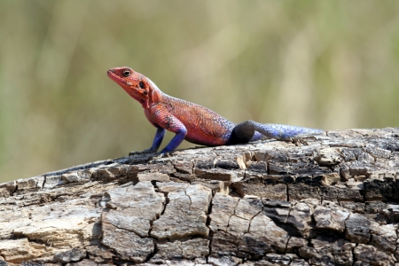 mwanza: mwanza flat headed agama Stock Photo