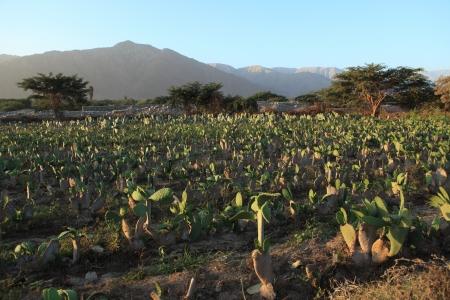 piojos: Cactus campo cochinilla piojos Shield Foto de archivo