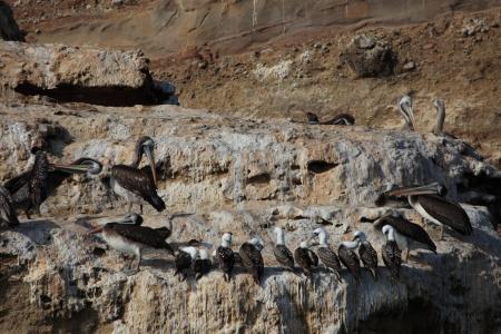 islas: Pelicans and Boobies Islas Ballestas