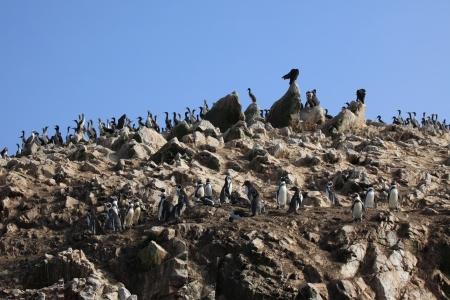 islas: Cormorants and Boobies  Islas Ballestas Stock Photo