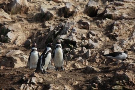 islas: Penguins Islas Ballestas Stock Photo