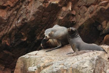islas: Seals Islas Ballestas