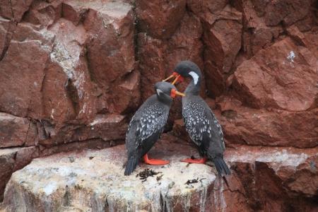 islas: Cormorants Islas Ballestas Peru