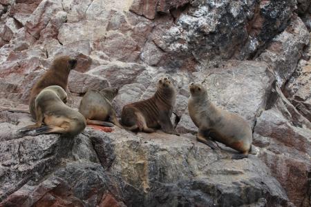 islas: Seals Islas Ballestas Peru