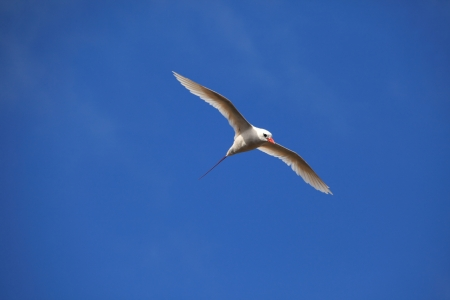 billed: Red Billed Tropicbird Stock Photo