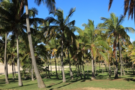 easter island: Easter Island Palm Forest