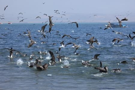 boobies: Sea Birds are fishing