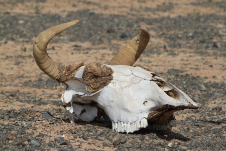 mongolia horse: Skull of Cow and Horse