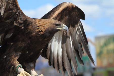 aguila real: Águila