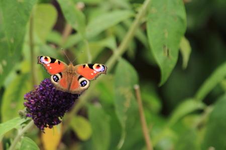peacock butterfly: pav�n