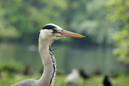 ciconiiformes: Great Blue Heron Stock Photo