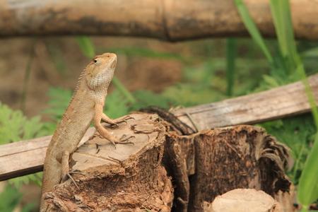 echse: Lizard