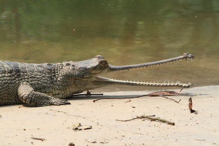 ganges: Crocodile Ganges Gavial Stock Photo