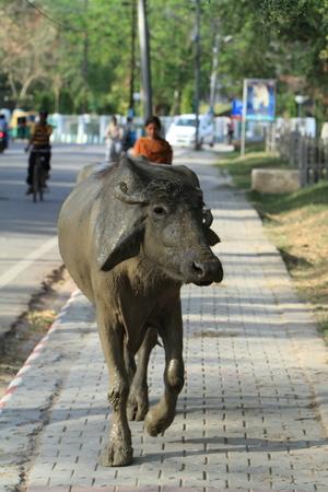 indian buffalo: Indian Buffalo
