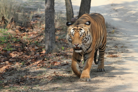 Indian Tiger in the National Park Bandhavgarh