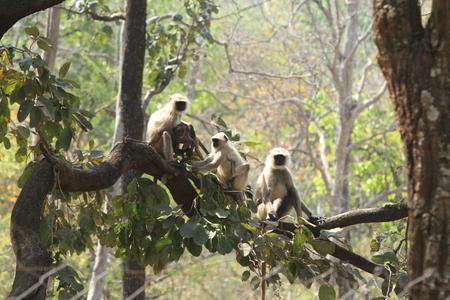 hanuman langur: Indian Langurs