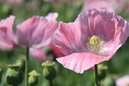 A Poppy Meadow photo